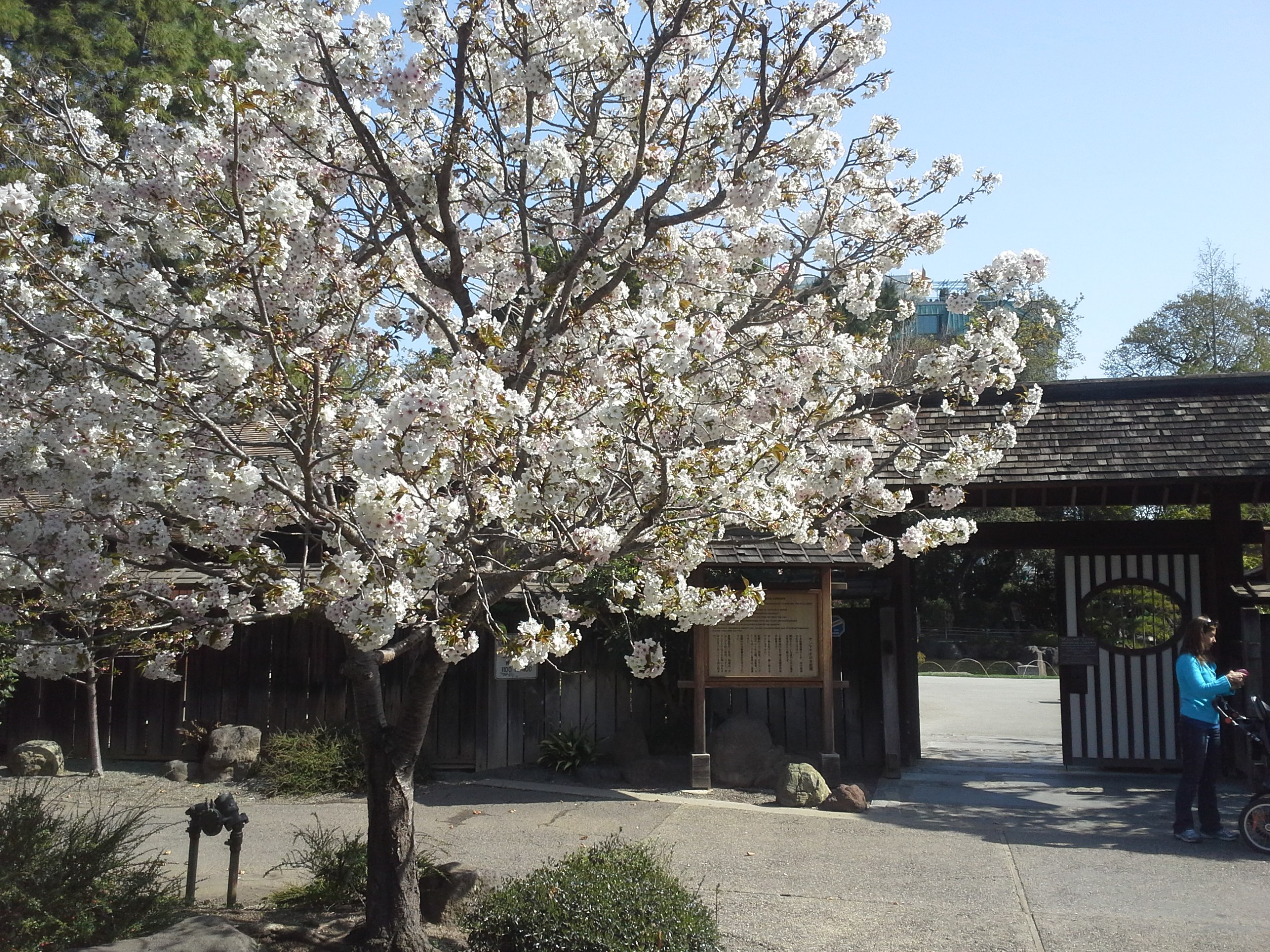 Fullsize Of Snow Fountain Weeping Cherry
