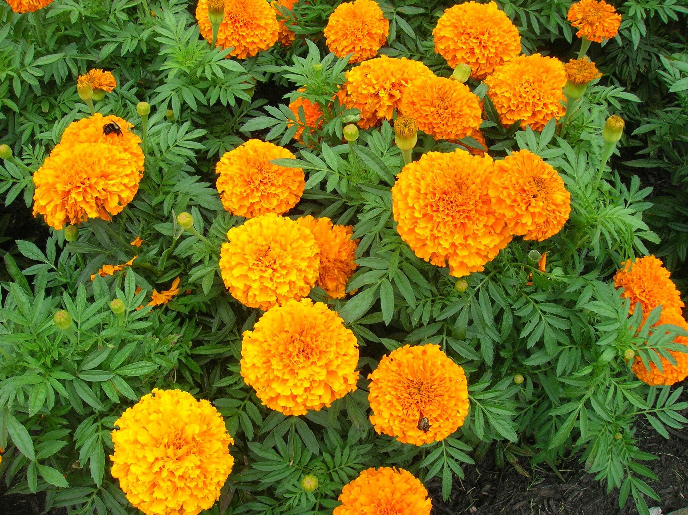 Vegetable Garden In Fall Wallpaper How To Grow Marigold Growing And Caring For Marigolds