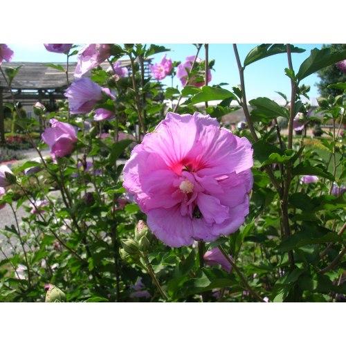 Medium Crop Of Rose Of Sharon Bush