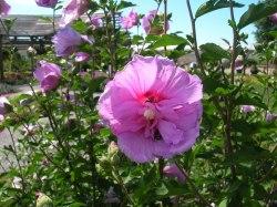 Small Of Rose Of Sharon Bush