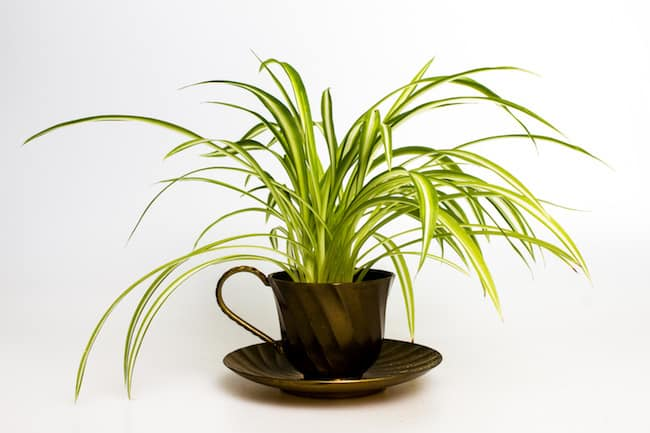 Chlorophytum Stekken 18 Best Indoor Plants For Coffee Table | Gardenoid