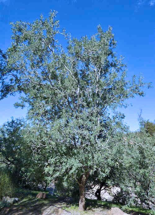 Olneya Tesota Desert Ironwood