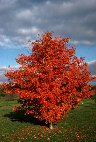 Sugar maple (Acer saccharum) in full fall color