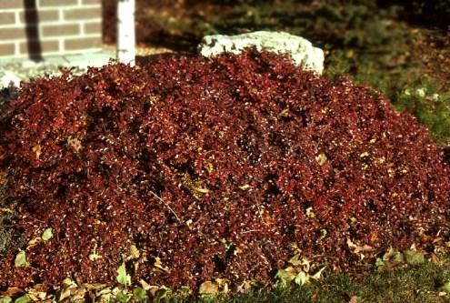 Cranberry cotoneaster (Cotoneaster apiculatus)