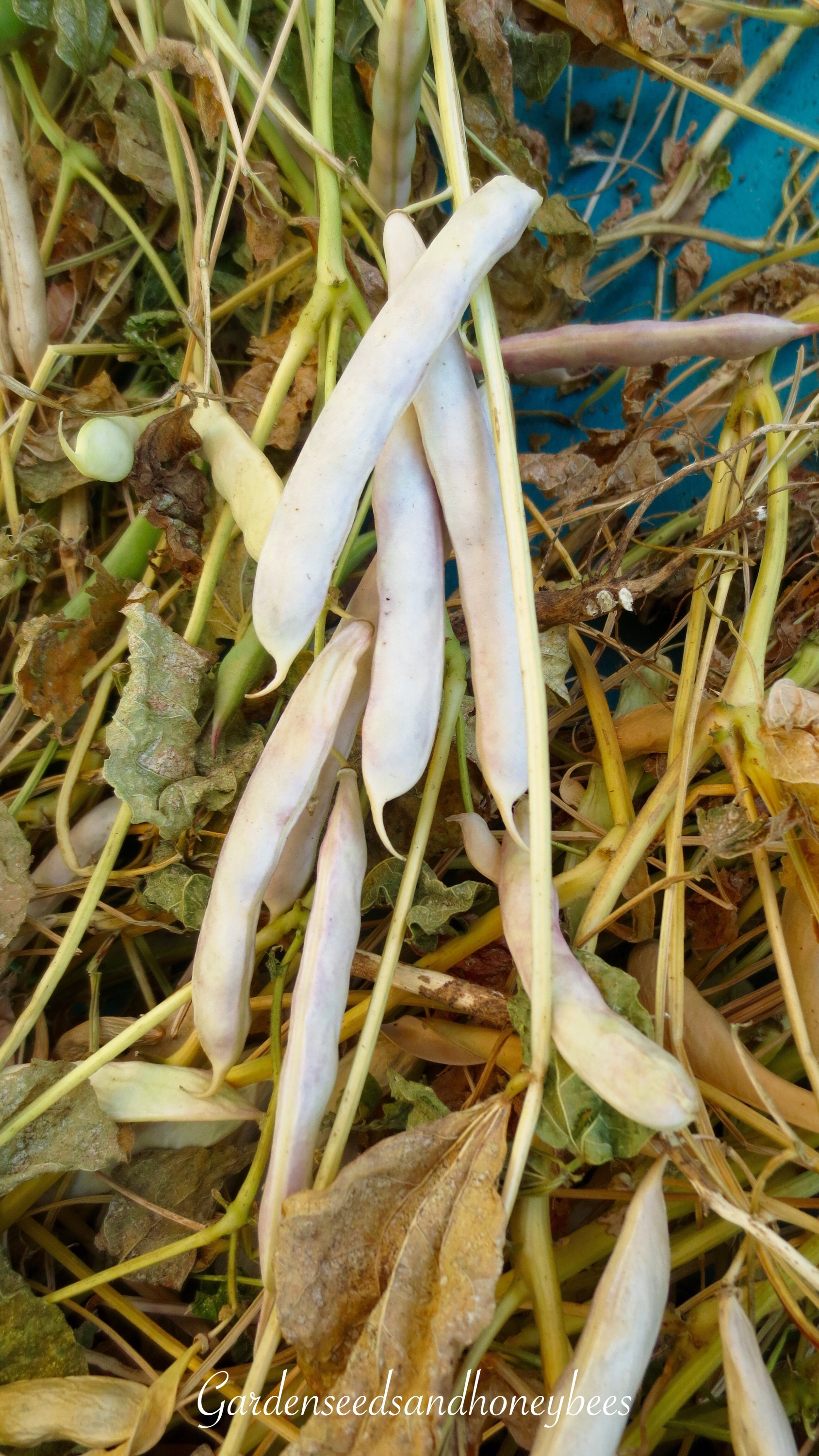 how to grow garden beans from seed