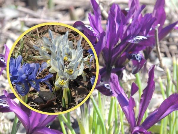iris reticulata collage