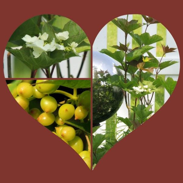 cranberry viburnum collage