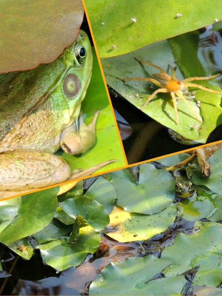 frog and spider in pond