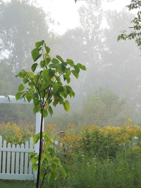 little linden sept fog