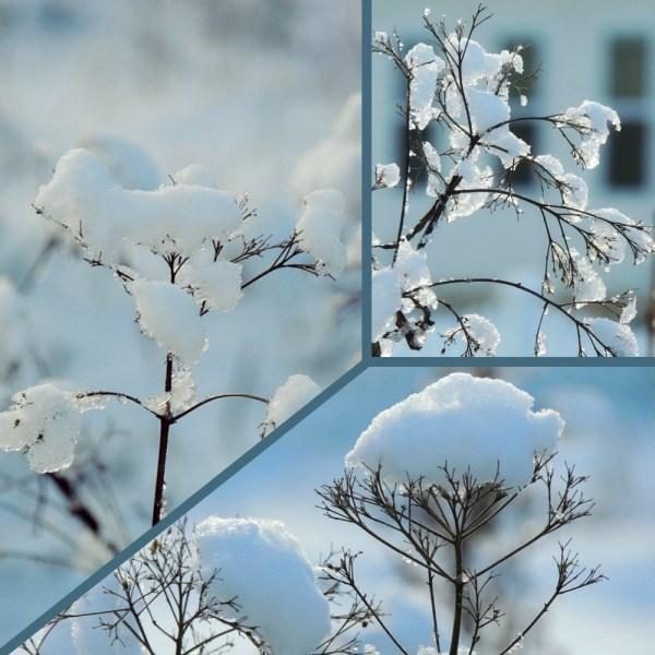 snowy joe pye