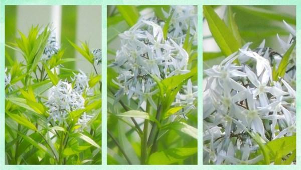 amsonia collage