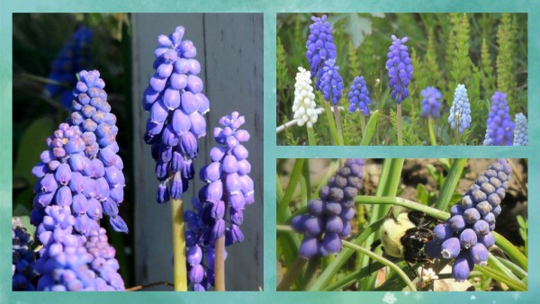 muscari collage