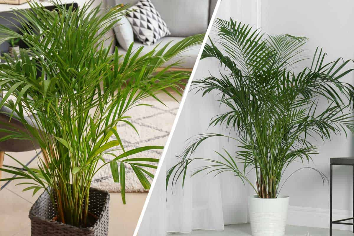 Areca Palm Vs Majesty Palm Which Is Right For You Garden Tabs