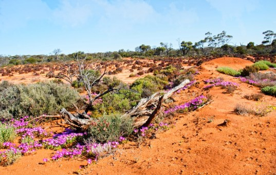 Wildflowers of Western Australia9