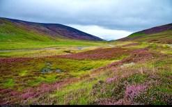Flowering heather in the Scottish highlands. Photo Moyan Brenn
