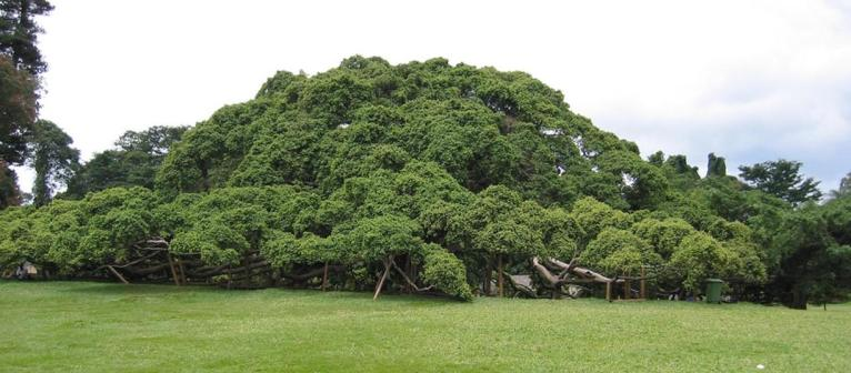 Sri Lanka, Kandy - giant fig tree in Peradeniya Botanical Garden. Photo JW NOWS