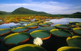 Victoria water lilies at Pantanal Matogrossense, Brazil. Photo miquitos