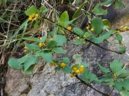 Tiny yellow flowers on a small shrub
