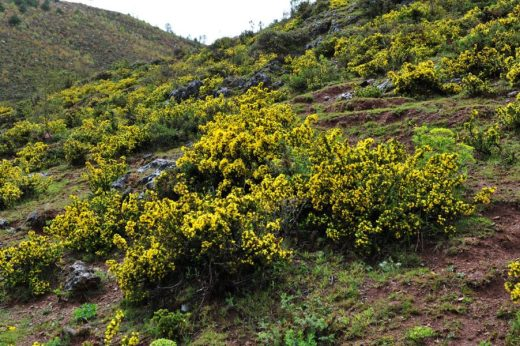 Hillsides covered with yellow Daphne calciola near Tiger Leaping Gorge