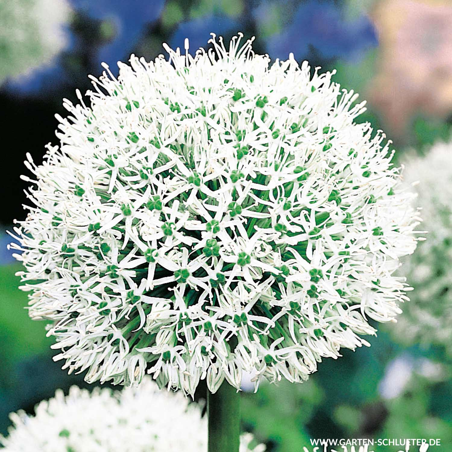 Zierlauch Trocknen Allium 'mount Everest' - 1 Stück - Allium 'mount Everest' - Allium | Garten SchlÜter