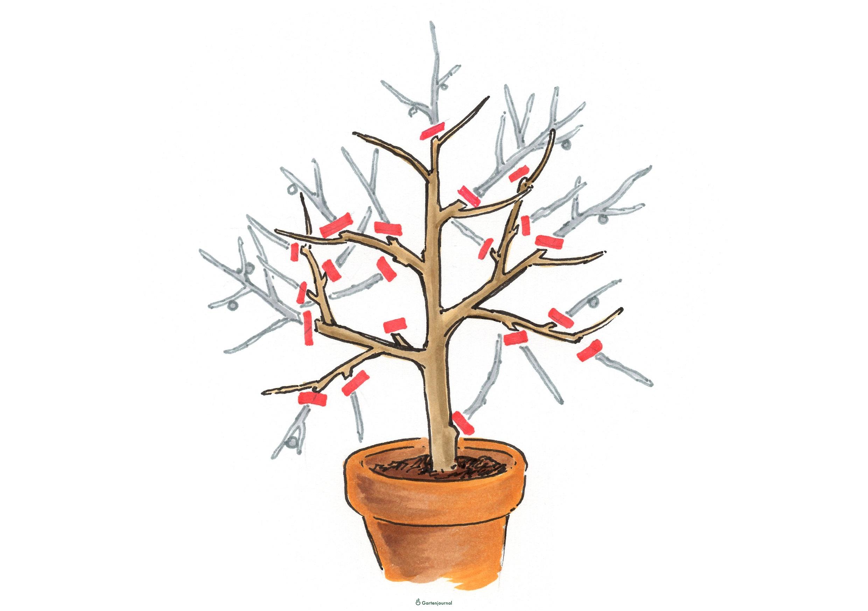 Feigenbaum überwintern Im Wohnzimmer