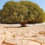 Pohon Berusia 1.400 Tahun Ini Jadi Saksi Kenabian Muhammad SAW