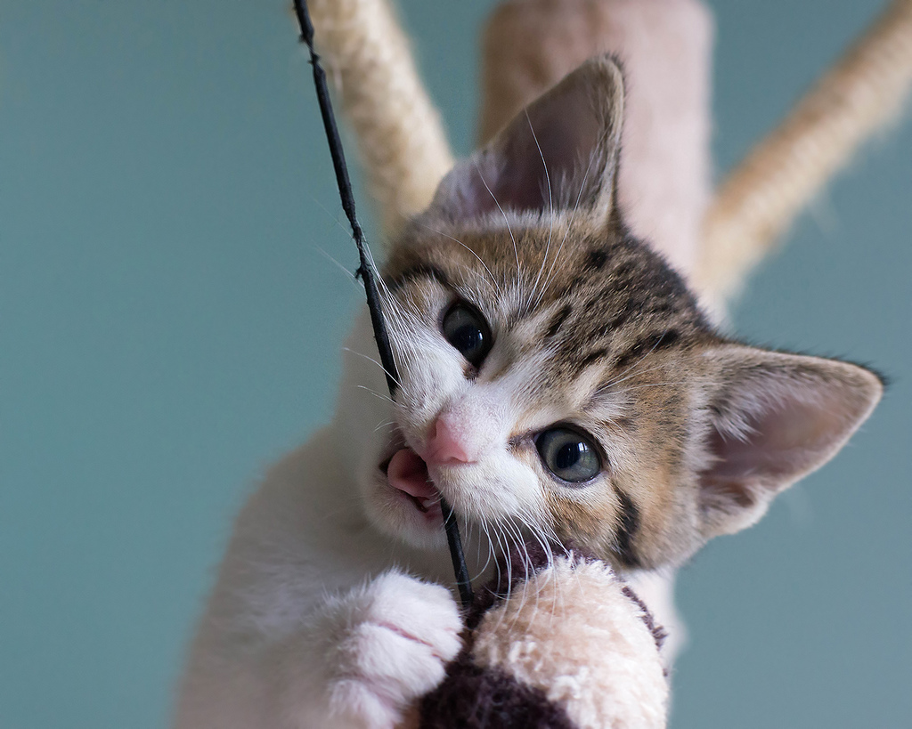 Pica: gatos que comem plásticos ou chupam tecidos