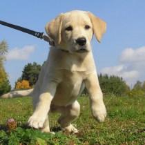 como fazer cachorro andar do lado no passeio