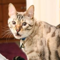 orgao-vomeronasal-gatos