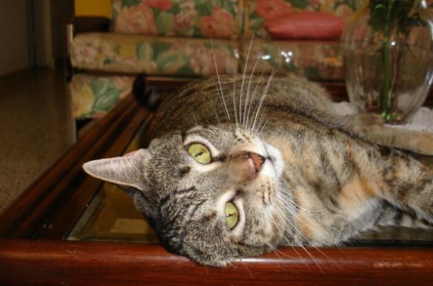 El gato callejero se puede acostumbrar a la vida en casa. Foto: Glorimar Anibarro