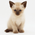 gato-siames-cachorro
