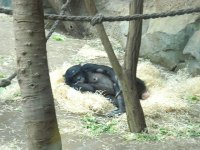 A Femal Gorilla Taking a Nap At the Zoo in Frankfurt, Germany | (c) Photo By Salika Jayasinghe