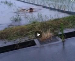 【Vine動画】海パン一丁で田んぼの水の中でスイミング!しかし、当然ながら進まず…w
