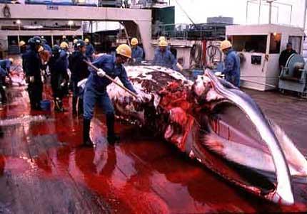 http://i0.wp.com/gcaptain.com/wp-content/uploads/2008/12/japan_whaling.jpg?w=800