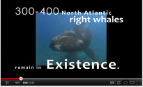 Slow To Ten Knots When Right Whales Are Present! [VIDEO]