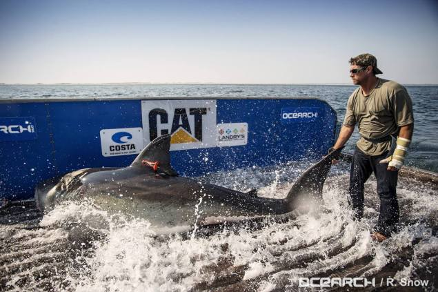 ocearch great white shark