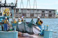 Japan Resumes Whaling
