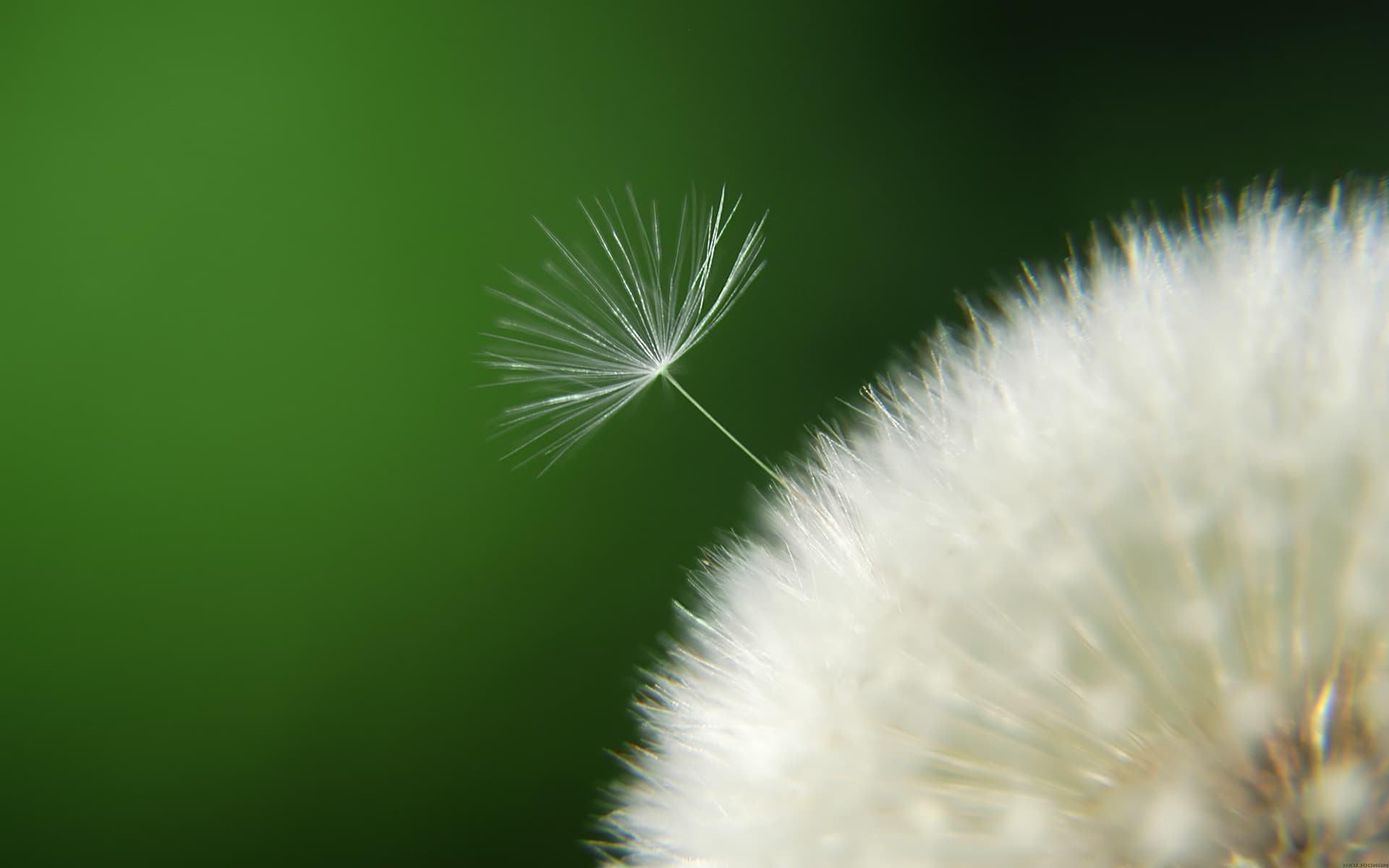 Hd 3d Computer Wallpapers Dandelion Flower Wallpaper Flying In The Beautiful Wind