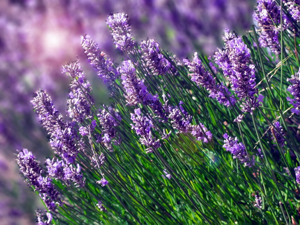 Cute 3d Cartoon Wallpapers Beautiful Lavender Wallpaper For Computer