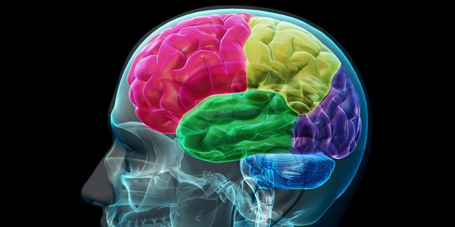 Brain.Lobes