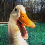 Imprimen un pata en 3D para que un pato pueda caminar normalmente por primera vez