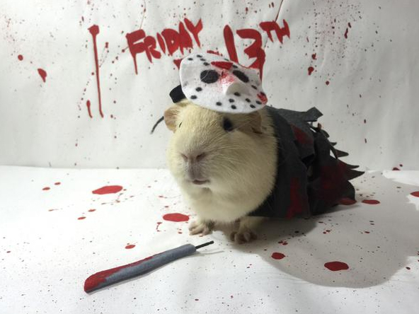 Funny But Cute Wallpapers Guinea Pig Cosplay