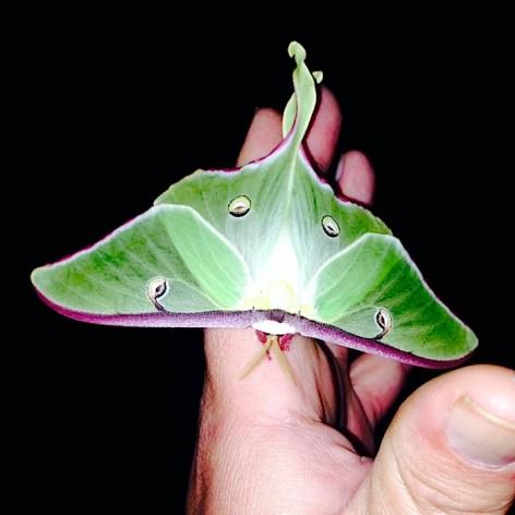 Luna Moth 3 Faryna May 2014