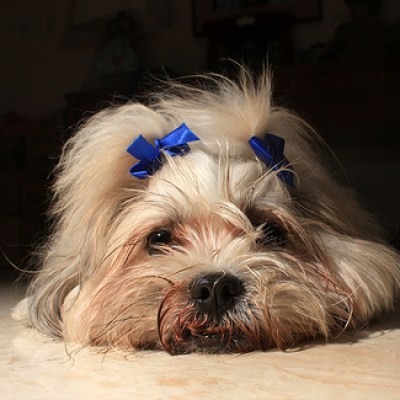 shih-tzu dog with ribbons