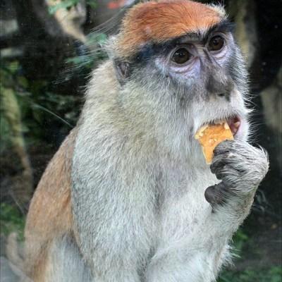 Monkey Eating an Apple