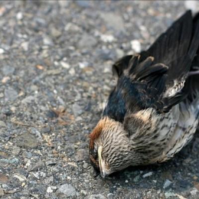 Dead Bird