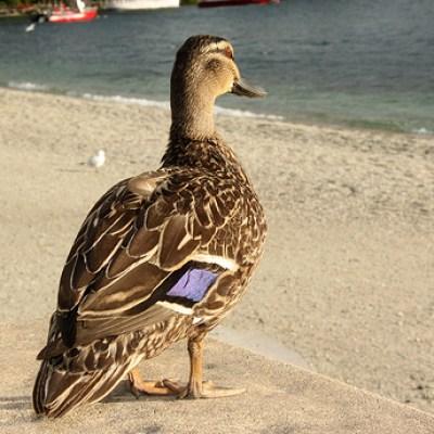duck on the beach