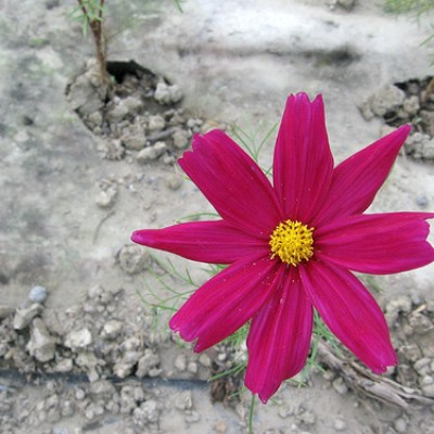 cosmos on concrete