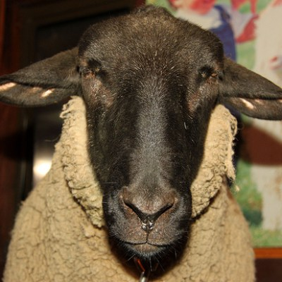 sheep with a black face