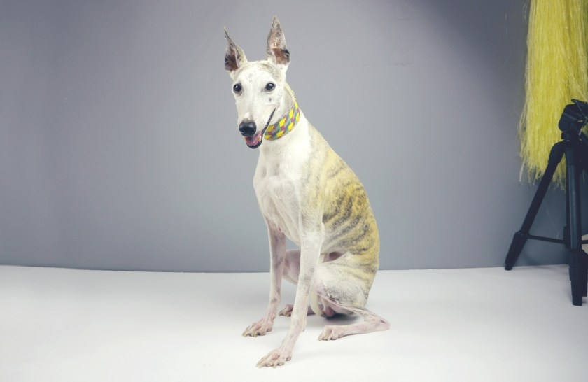 "Whippet Gene Bowie wearing ""Pepito & Co."" collar."